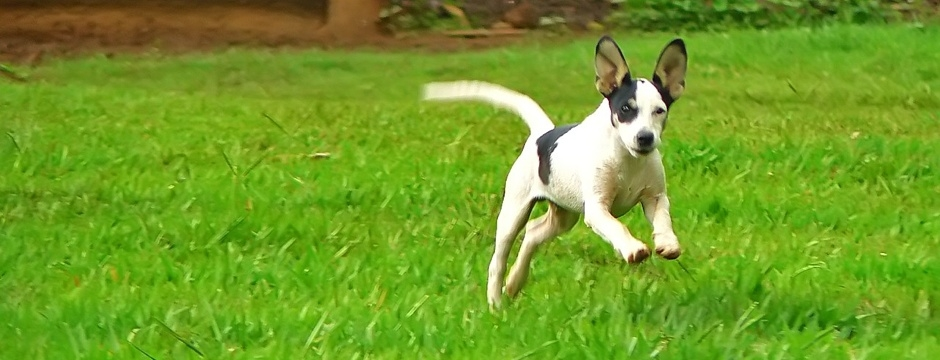 Dog running through a poop clean yard